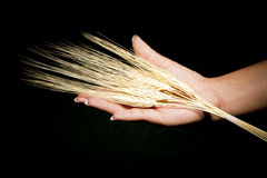 Hands with wheat Royalty Free Stock Image