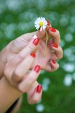 Hands and white daisy Stock Photography