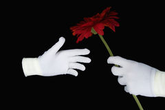 Hands in white gloves with a red flower Royalty Free Stock Photo