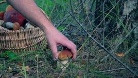 Hands with wicker basket picking boletus mushroom growing near birch tree. Trunk. Closeup shot. 4K stock footage