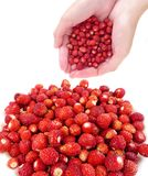 Hands with wild  strawberries Stock Images