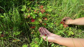 Hands wild strawberry Stock Photo