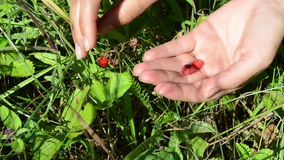 Hands wild strawberry Stock Images