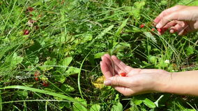 Hands wild strawberry stock footage