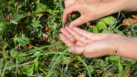 Hands wild strawberry Stock Photos