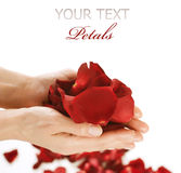 Hands With Rose Petals Royalty Free Stock Images