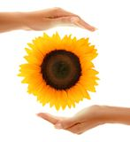 Hands With Sunflower 2 Royalty Free Stock Photos