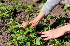 Hands of a Woman Caring on the Garden. Cleaning the Garden of Weeds Stock Photography