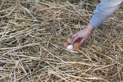 Chicken eggs in the hands. The hands of a woman collects the chicken eggs from the nest royalty free stock images