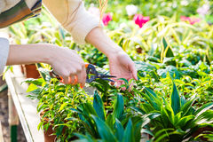 Hands of woman gardener trimming plants with pruning shears Royalty Free Stock Photo