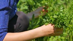 Hands Woman gather green fresh parsley. Petroselinum crispum. Hands Woman gather green fresh parsley. Petroselinum crispum stock footage