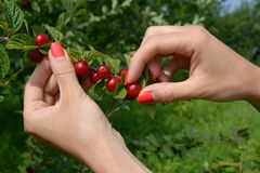 Hands of the woman gathering felt (Chinese) cherry stock photography