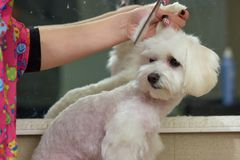 Hands of woman grooming dog. White lap dog Royalty Free Stock Photo
