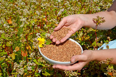Hands of the woman hold a bowl with buckwheat in the field of the blossoming buckwheat of a sowing campaign Fagopyrum esculentum Royalty Free Stock Photos