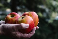 Hands of woman holding three red apples Stock Photography