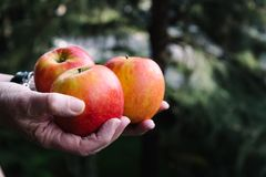Hands of woman holding three red apples Stock Photo