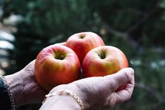 Hands of woman holding three red apples Royalty Free Stock Photos