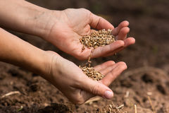 Hands of woman  pouring ripe rye grain Royalty Free Stock Image