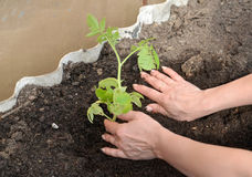 Hands of the woman put tomato seedling in hothouse soil Royalty Free Stock Images