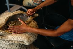 Hands of woman scooping unroasted coffee beans. From a sack Stock Image