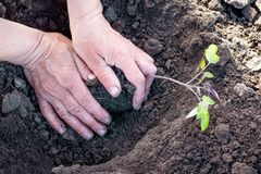 Hands of a woman and seedlings of tomatoes during planting_ royalty free stock photography