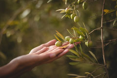 Hands of woman touching olive tree at farm Stock Image