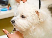 Grooming Maltese dog Stock Image