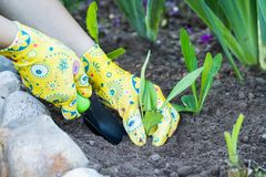Hands Of Women Gardener In Working Gloves Pull Grass Weeds From Stock Photography