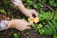 Women Gather Fresh Mushrooms Chanterelles Knife In Forest. Hands Of Women Gather Fresh Mushrooms Chanterelles Knife In Forest In Summer Top View stock image