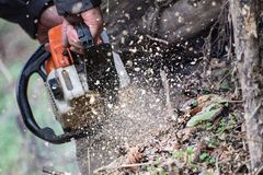 Hands of worker cut tree by chainsaw while leaving much sawdust Royalty Free Stock Photo