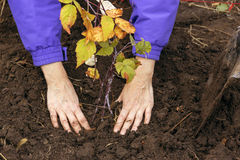 Hands of young Farmer seeding small Tree into Earth Stock Photos