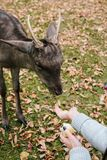 The hands of a young girl are fed by an apple a deer in the beautiful moody autumn park of the Blatna castle. Czech Republic royalty free stock photography