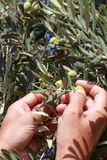Hands of a young man harvest olives Royalty Free Stock Photos