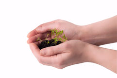 Hands and young seeds Stock Photo