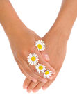 Hands of young woman with chamomile flower heads Stock Image