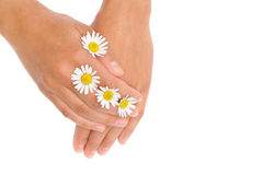 Hands of young woman with chamomile flower heads Stock Photos