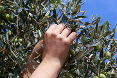 Hands of a young woman harvest olives Royalty Free Stock Photo