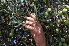 Hands of a young woman harvest olives Royalty Free Stock Photography