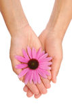 Hands of young woman holding Echinacea flower Royalty Free Stock Images