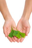 Hands of young woman holding ginkgo leaf Stock Photography