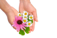 Hands of young woman holding herbs - echinacea, gi Royalty Free Stock Photography