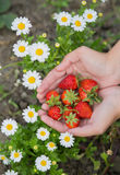 Hands of a young woman picking strawberries Royalty Free Stock Photography