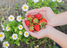 Hands of a young woman picking strawberries Royalty Free Stock Images