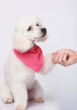 Handshake of white poodle dog and man Stock Photography