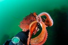 Handskakning med bläckfisken Royaltyfri Bild