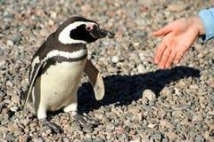 Handskakning med pingvinet Royaltyfri Foto