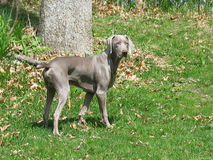Handsome. Male Weimaraner Royalty Free Stock Images