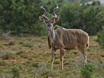 Handsome Addo Kudu. A Handsome Kudu Bull on Full Alert stock photography