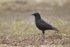 American Crow in flowers Stock Photos