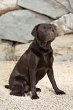 Handsome and Alert Chocolate Labrador Stock Photography